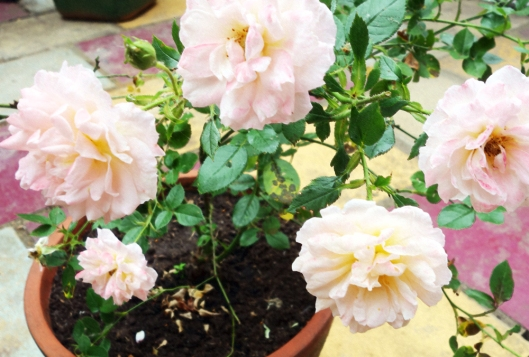 A photo of Light pink roses in a garden