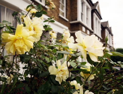 A photo of Creamy yellow roses in a garden
